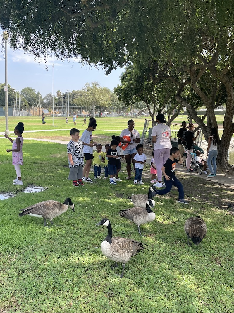 Kids are feeding the geese at the park, learning about animals.